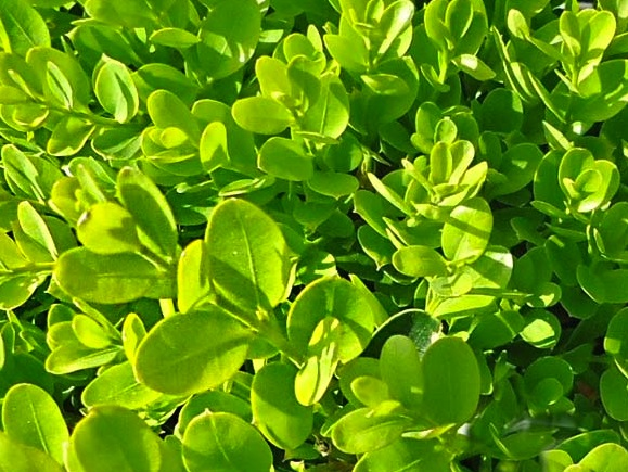 Buxus sempervirens suffruticosa leaves