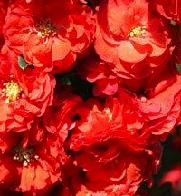 Chaenomeles japonica Double Red