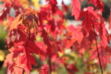 acer rubrum autumn red © bron anderson